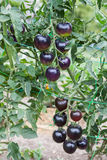 Purple tomatoes growing on branch Royalty Free Stock Photo