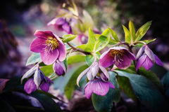 Purple hellebore flower royalty free stock photos