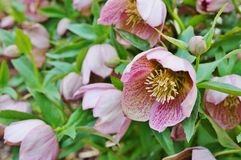 Purple hellebore flower of the Christmas Rose Royalty Free Stock Photos