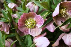 Purple hellebore flower of the Christmas Rose. Purple flower of the helleborus hybridus (Christmas or Lenten rose Stock Photography
