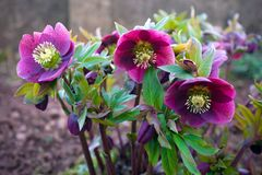Purple hellebore flower in the green garden.  royalty free stock photography