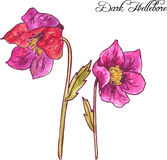 Purple hellebore flowers Stock Image