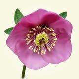 Purple Helleborus flower Stock Photo