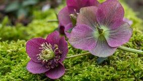Purple helleborus macro Stock Photos