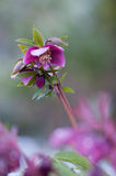 Purple Helleborus in snow. Close up of a purple Helleborus orientalis blooming in winter snow. Shallow dof Royalty Free Stock Photography