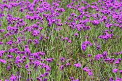 Purple flowering herbal meadow. Colorful flowering wild herbs in spring. Australian meadow. The color of year 2018 found in the nature stock photography