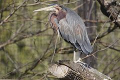 Purple heron Stock Photo