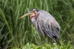 Purple heron Stock Images