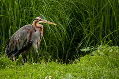 Purple Heron. (ardea purpurea) staying in the pond Royalty Free Stock Photography