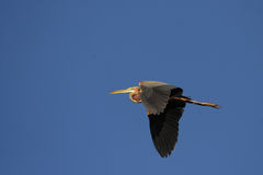 Purple Heron Royalty Free Stock Image