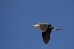 Purple Heron. (Ardea purpurea) in flight over the Okavango Delta, Botswana royalty free stock image