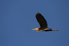 Purple Heron. (Ardea purpurea) in flight over the Okavango Delta, Botswana stock photos