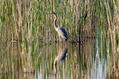 Purple heron. Ardea purpurea. Purple heron on the background of reeds royalty free stock image