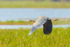 Purple heron Royalty Free Stock Photos