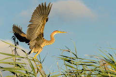 Purple heron (ardea purpurea) Royalty Free Stock Photo