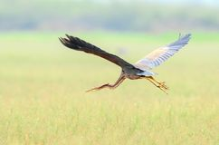 Purple Heron Ardea purpurea stock image
