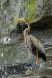 Purple Heron - Ardea purpurea stock photography