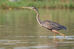 Purple heron. Ardea purpurea standing in the waters of the Nile in Uganda Royalty Free Stock Photography