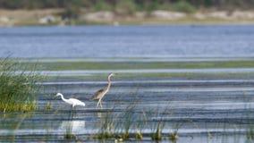 Purple heron in Arugam bay lagoon, Sri Lanka Stock Images