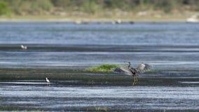 Purple heron in Arugam bay lagoon, Sri Lanka Royalty Free Stock Image