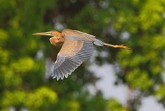 Purple heron. Bird is flying. bird color detail very good. natural view stock images