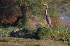 Purple heron bird stock images