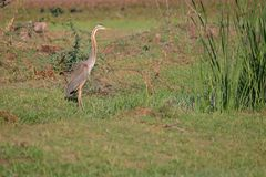 Purple heron bird stock photo
