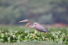 Purple heron bird royalty free stock photography