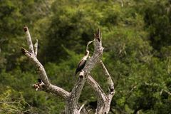 Purple heron-bird. At wilpattu national park, Sri Lanka,The purple heron is a wide-ranging species of wading bird in the heron family, Ardeidae. The scientific stock photos