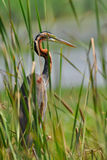 Purple Heron Royalty Free Stock Images