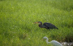Purple Heron with catch Royalty Free Stock Photos
