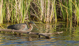 Purple Heron catching fish Royalty Free Stock Photography