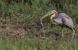 Hunt: Purple Heron with a mouse catch royalty free stock photos