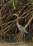 Purple Heron concealed Stock Images