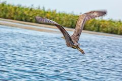 Purple Heron flies over the water, close-up. Purple Heron flies over the water in the Azov wetlands, close-up stock photography