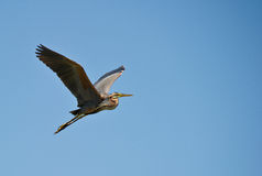 Purple Heron on flight Stock Photo