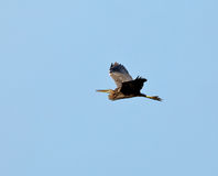 Purple Heron in flight Stock Images