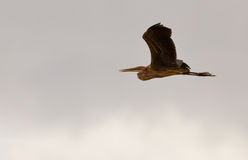 A Purple Heron in flight Royalty Free Stock Photo