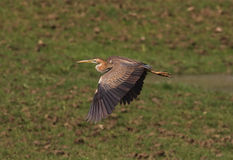 A Purple Heron in flight Royalty Free Stock Photos