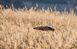 Purple Heron in flight over the reed Stock Images