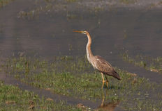 A Purple Heron in the flooded meadow Royalty Free Stock Photo