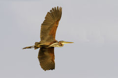 Purple heron flying  / Ardea purpurea Stock Photography