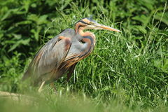 Purple heron Royalty Free Stock Photo