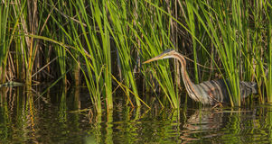 Purple Heron hunting in reedbed Royalty Free Stock Photo