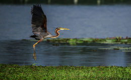 Purple Heron Landing Royalty Free Stock Images