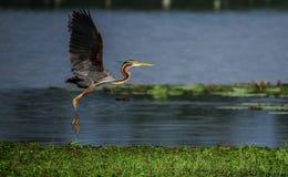 Purple Heron Landing Royalty Free Stock Images