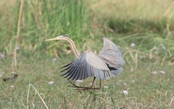 Purple heron. Is a large bird. 78 cm 97 cm in length with a standing height from 70 to 94 cm and a 120 to 150 cm wingspan. it is some what smaller then the grey Royalty Free Stock Photo