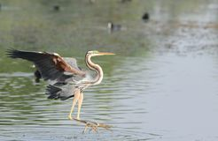 Purple heron. Is a large bird. 78 cm 97 cm in length with a standing height from 70 to 94 cm and a 120 to 150 cm wingspan. it is some what smaller then the grey Royalty Free Stock Photography