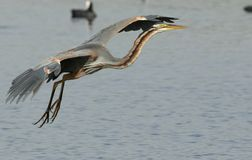 Purple heron. Is a large bird. 78 cm 97 cm in length with a standing height from 70 to 94 cm and a 120 to 150 cm wingspan. it is some what smaller then the grey Stock Image