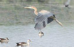 Purple heron Royalty Free Stock Photography